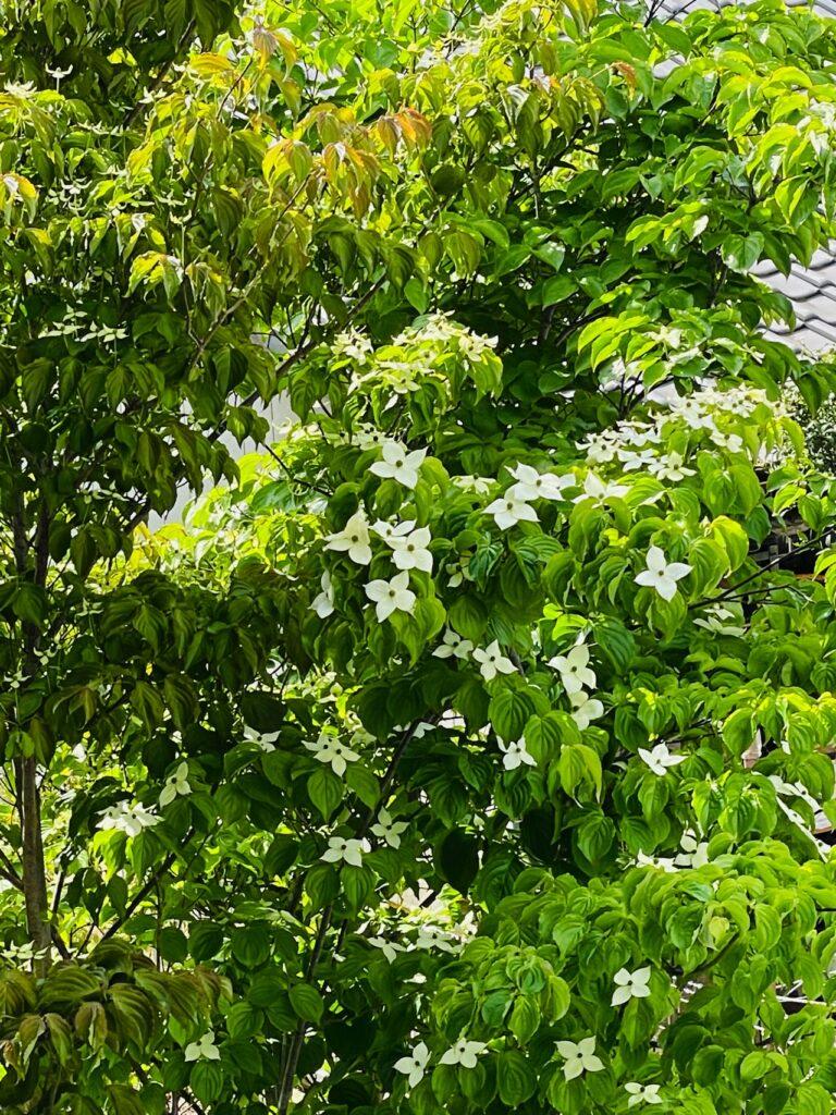 植えて5年経った庭のヤマボウシ