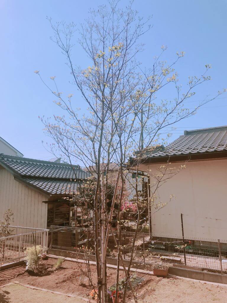 無印 木の家 庭 玄関 シンボルツリー ヤマボウシ 春