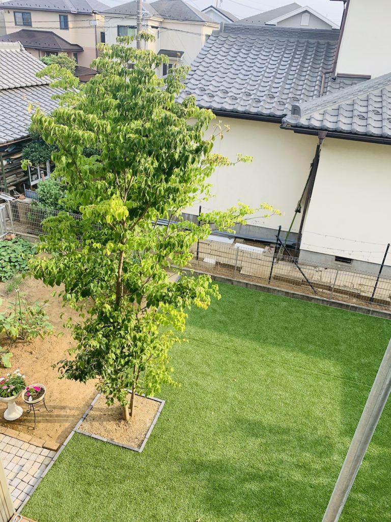 5年経過したヤマボウシの木(頭上から)