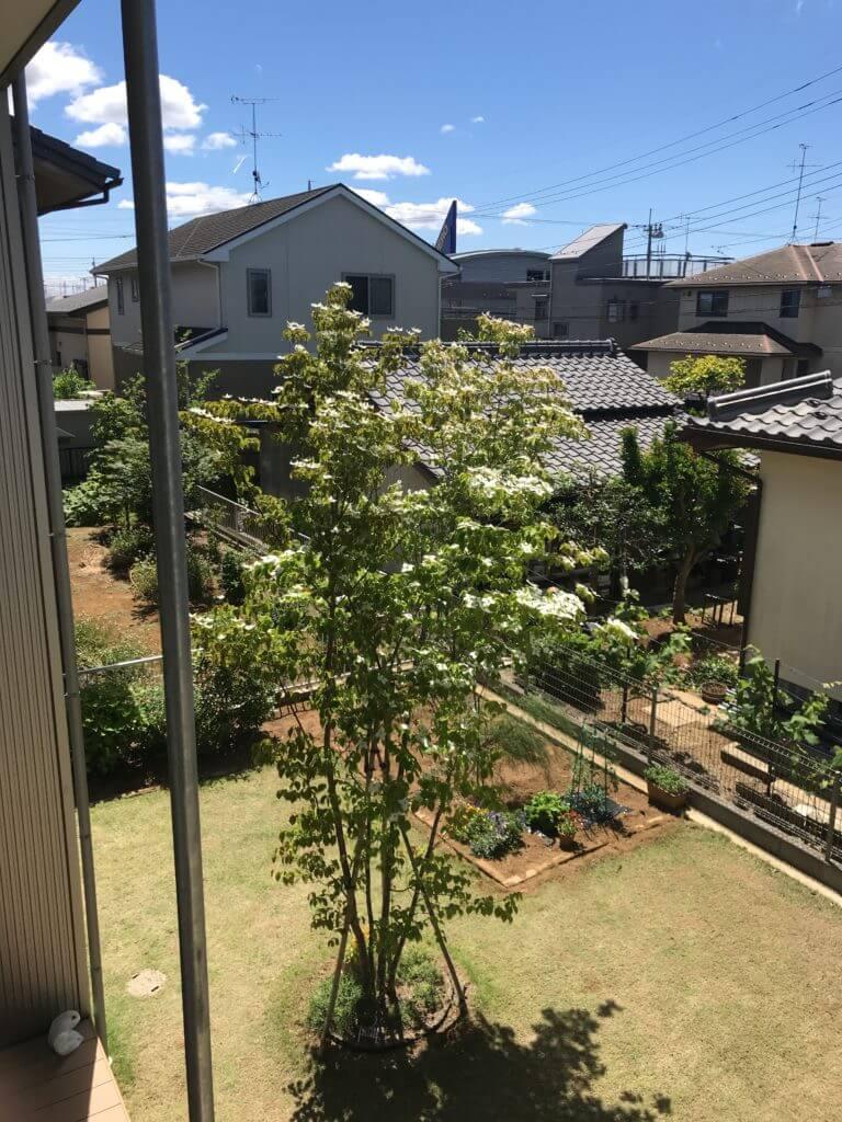 花が咲いたヤマボウシ(5月)