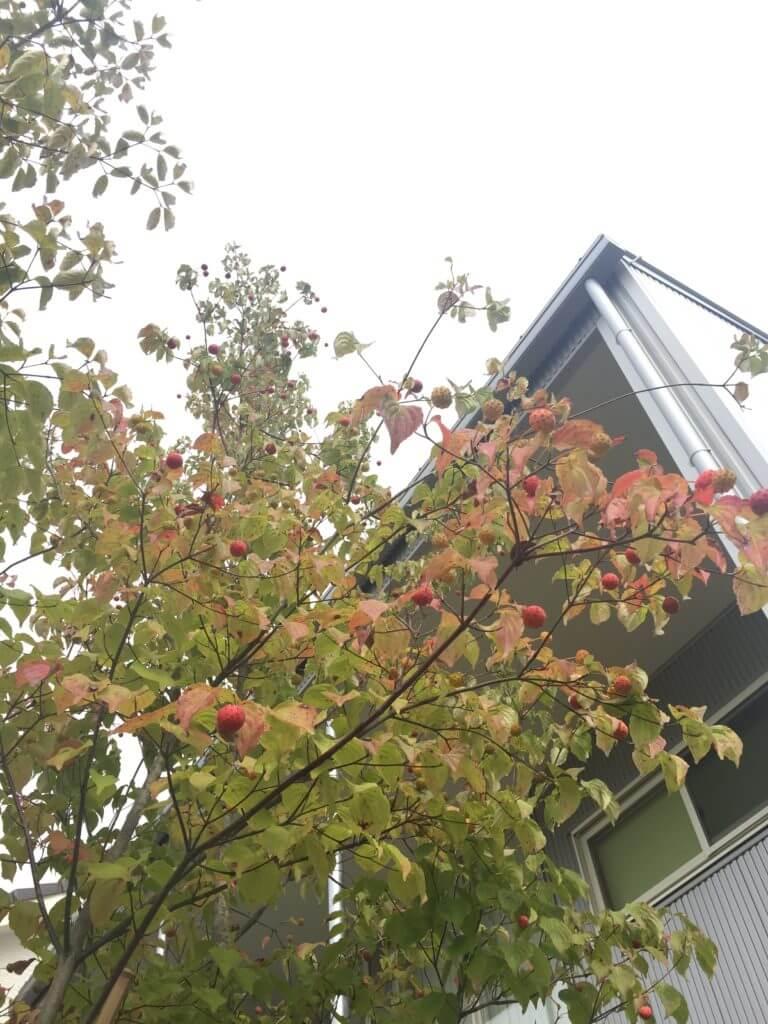 無印 木の家 庭 玄関 シンボルツリー ヤマボウシ 紅葉