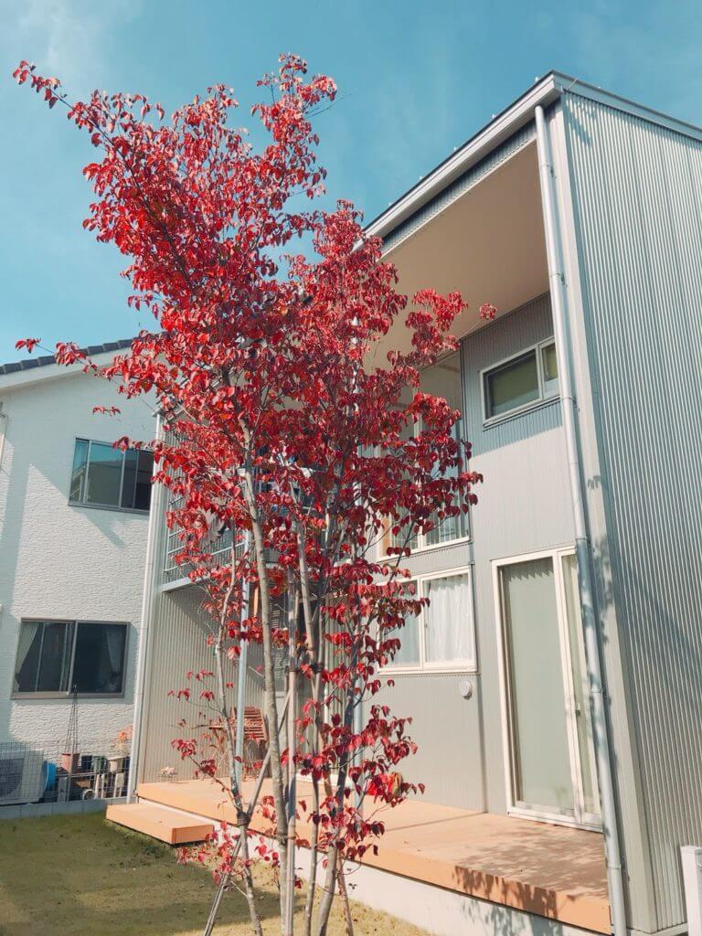 無印 木の家 庭 玄関 シンボルツリー ヤマボウシ 紅葉 秋