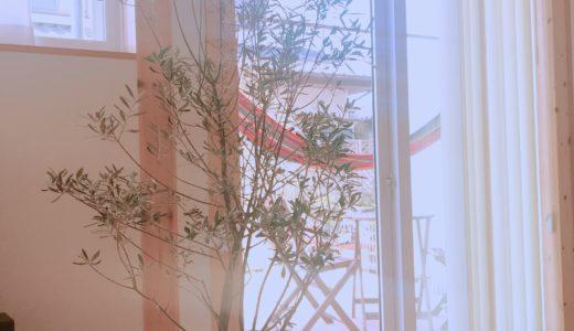 【癒やし】木の家のリビングに観葉植物「オリーブ」を置きました。