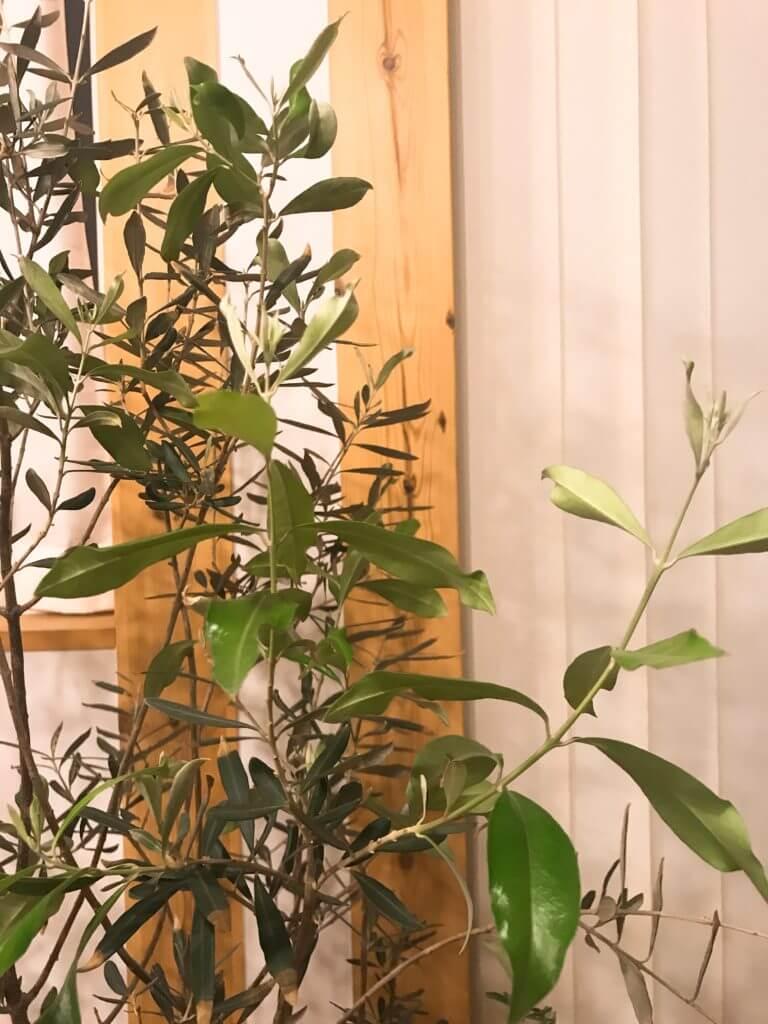 観葉植物のオリーブは家の中でも育つ