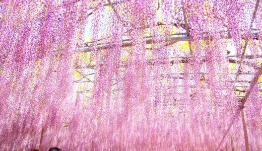 藤の季節の足利フラワーパークは早朝が狙い目だ【割引情報あり】