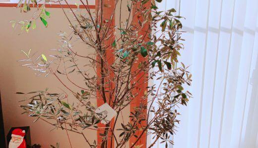室内でのオリーブの木の育て方。1年育てた感想と気をつけること