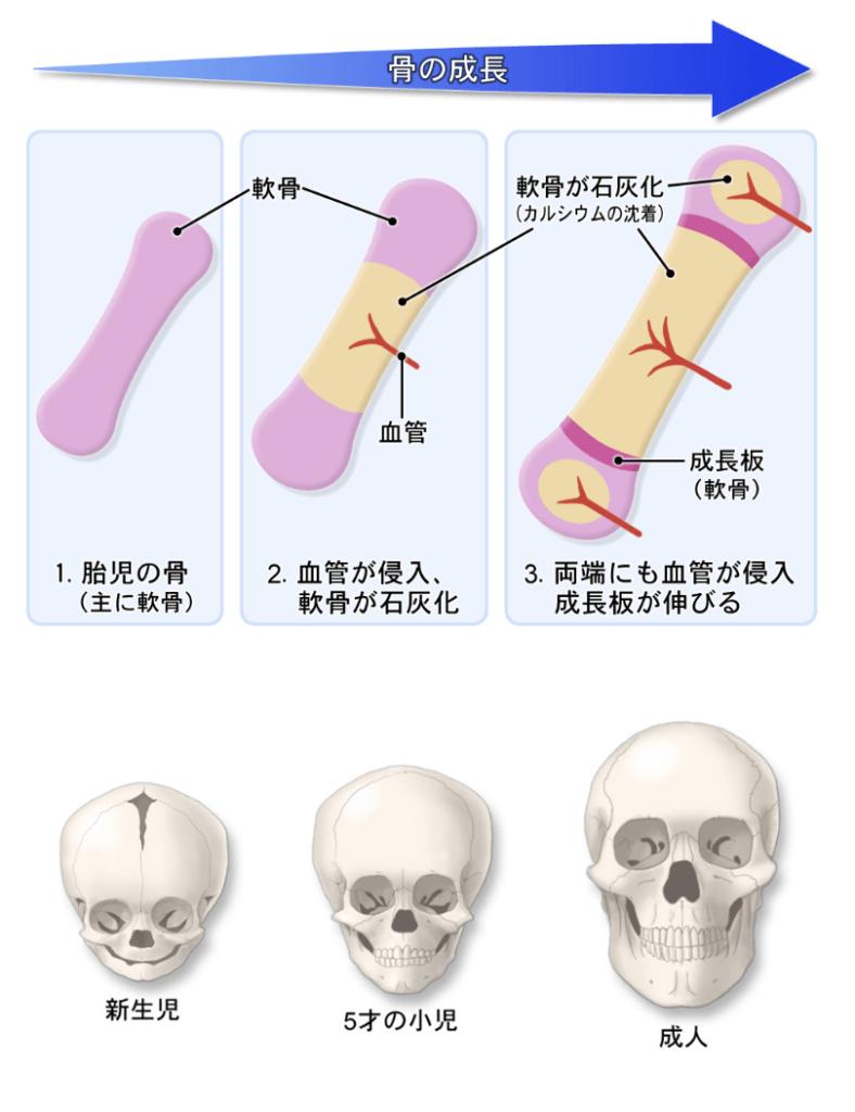 赤ちゃんの頭蓋骨の発達